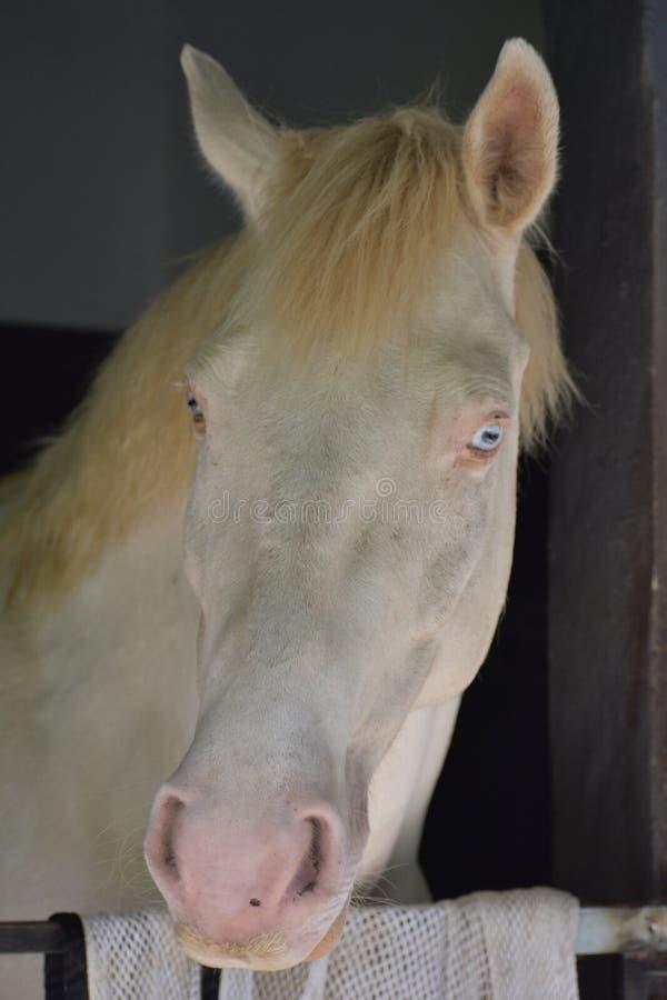 Cheval blanc regardant hors de son écurie photos libres de droits