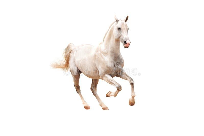Cheval blanc sur le blanc image stock