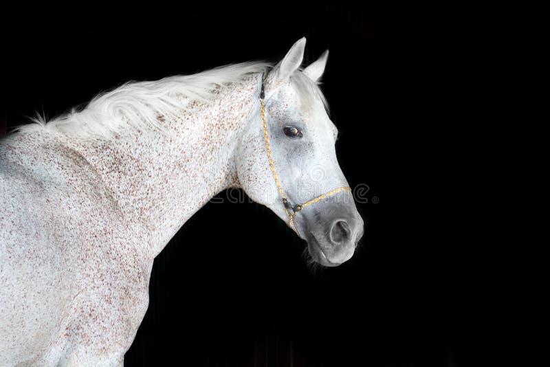 Cheval blanc sur le noir photos stock