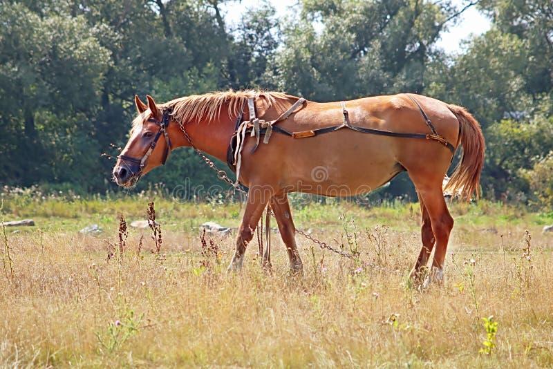 Cheval brun gentil dans le pré photographie stock