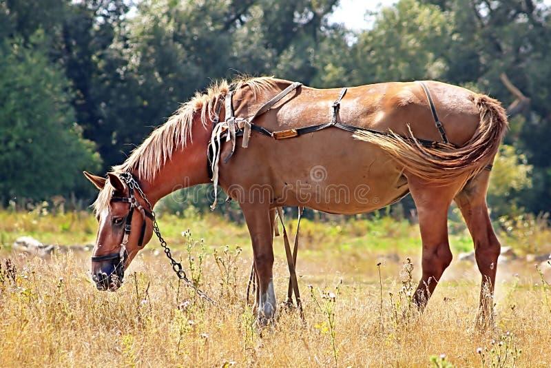 Cheval brun gentil dans le pré photos libres de droits