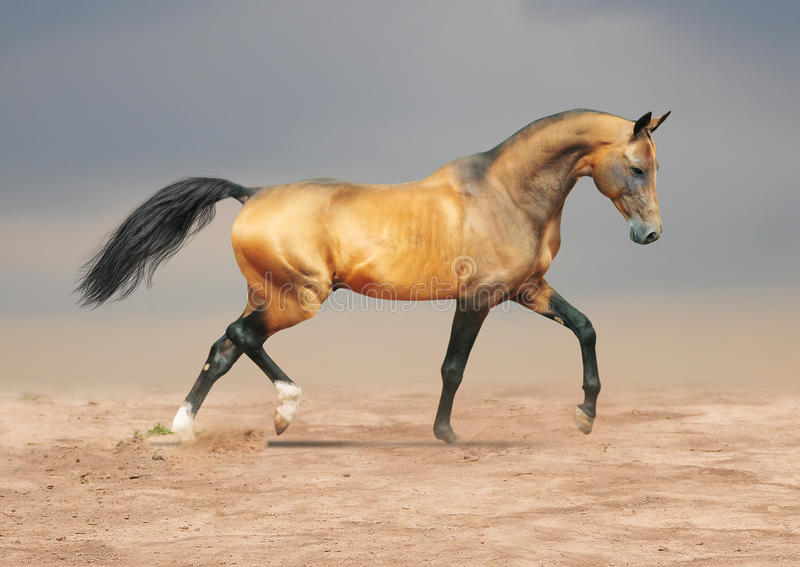 Cheval brun grisâtre d'or d'akhal-teke photo stock