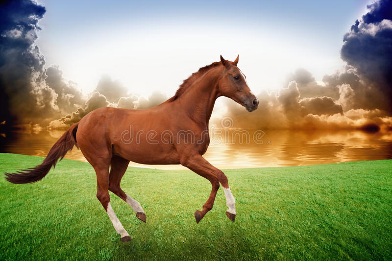Cheval courant, coucher du soleil image stock