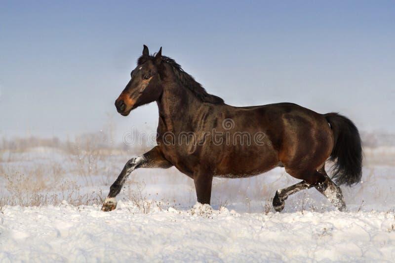 Cheval couru sur la neige photo libre de droits