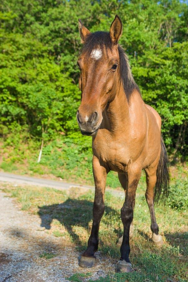 Cheval criméen image stock