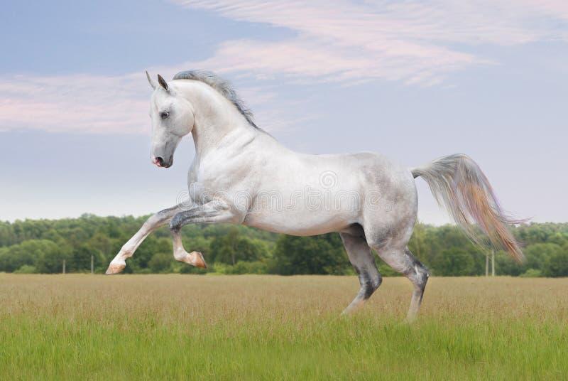 Cheval d'Akhal-teke sur le blanc photo libre de droits