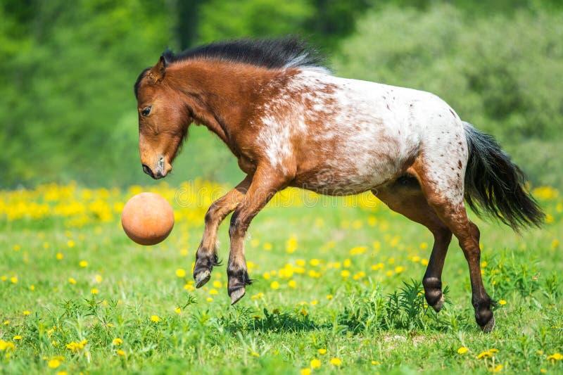 Cheval d'Appaloosa jouant avec une boule sur le pré dans l'heure d'été photo libre de droits