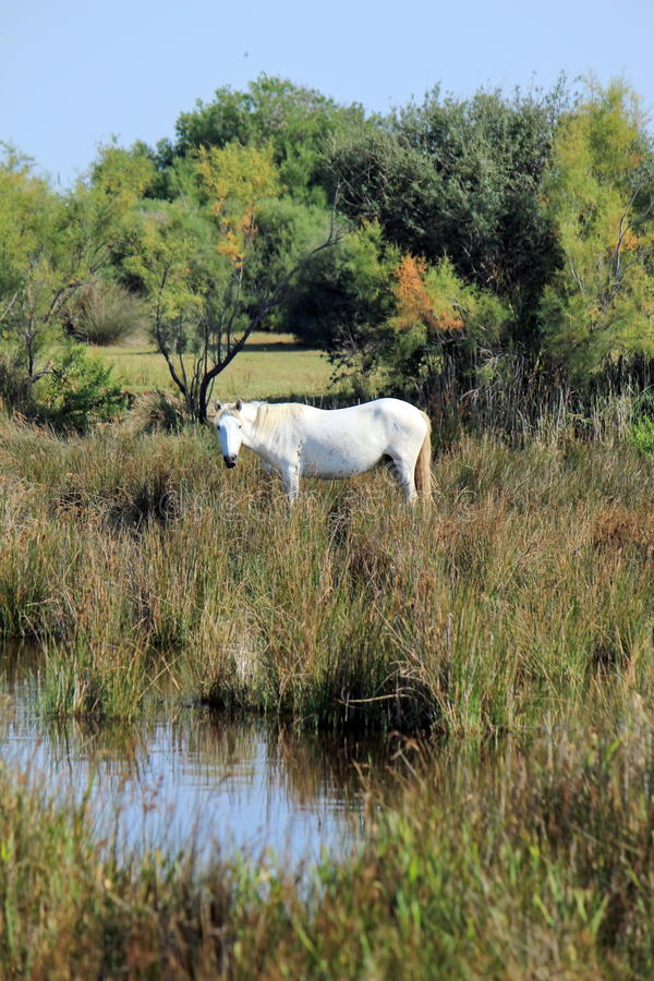 Cheval dans Camargue, France photo libre de droits