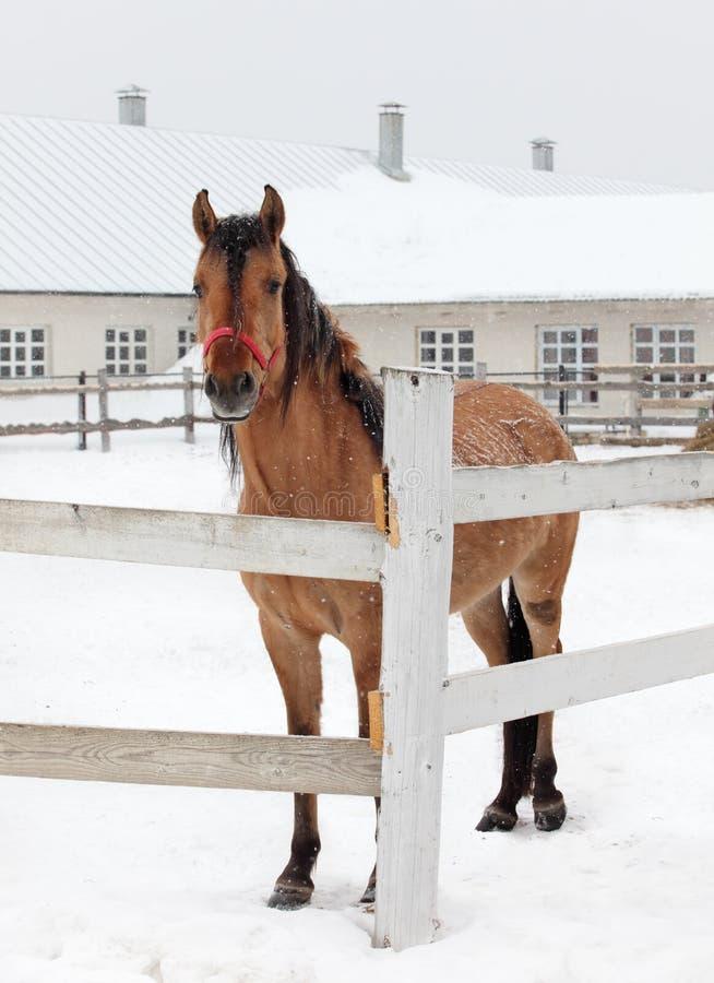 Cheval dans la neige en dehors du corral de ferme photos stock