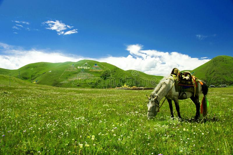 Cheval dans la prairie de Tagong photo stock