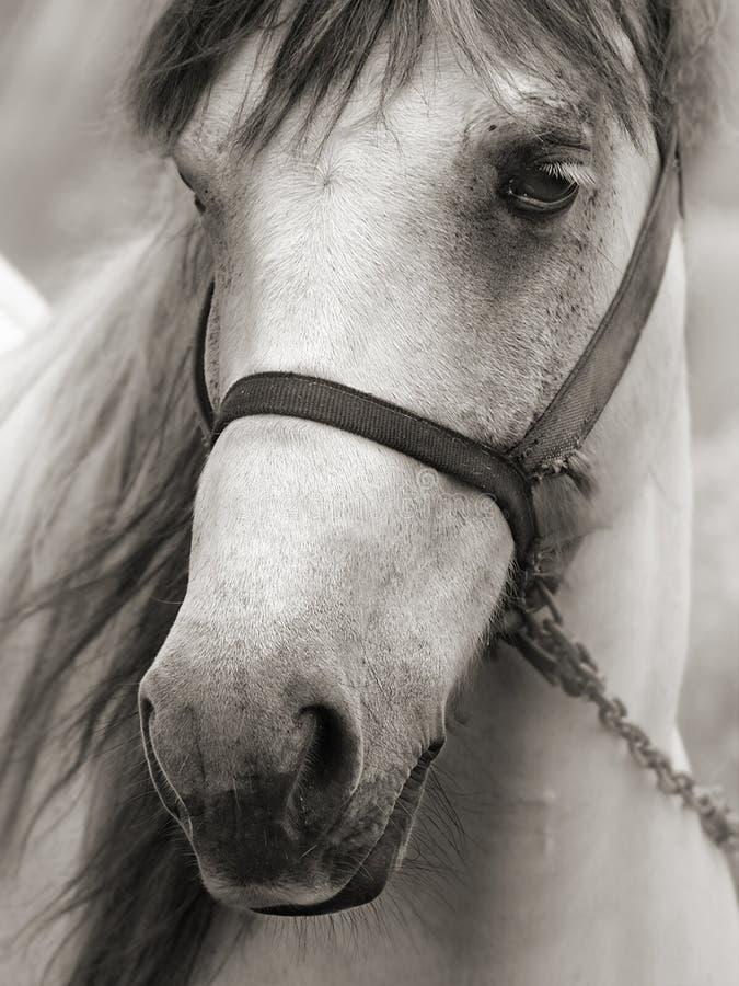 Cheval dans la sépia photos libres de droits