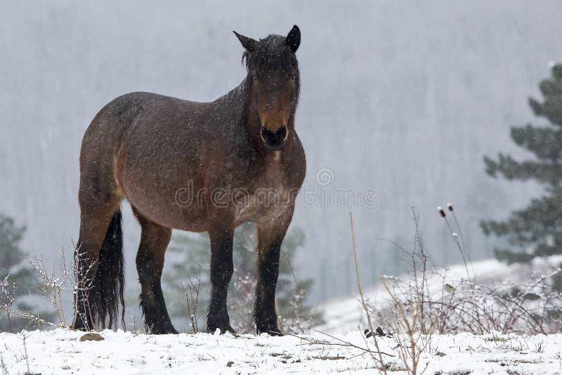 Cheval dans la tempête de neige photographie stock