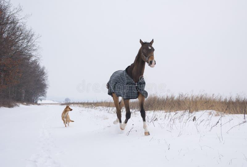 cheval dans un fonctionnement à carreaux de cheval-tissu sur le champ neigeux avec le chien photographie stock libre de droits