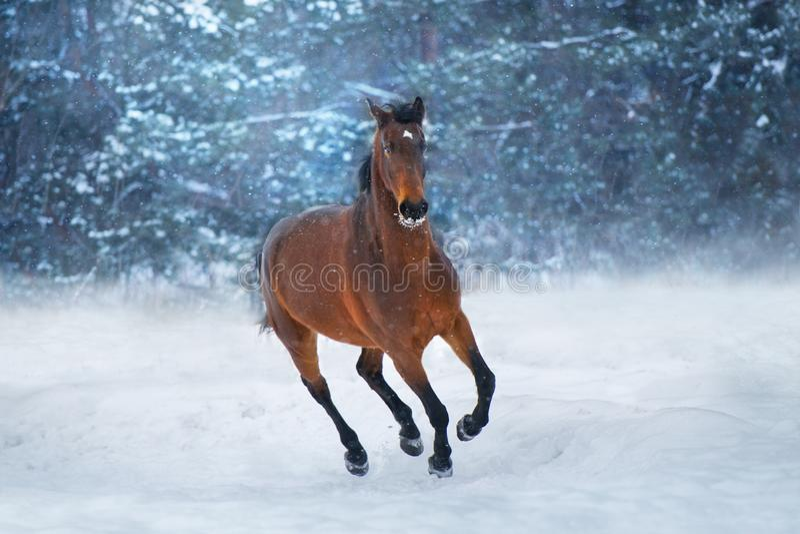 Cheval de baie dans la neige photographie stock