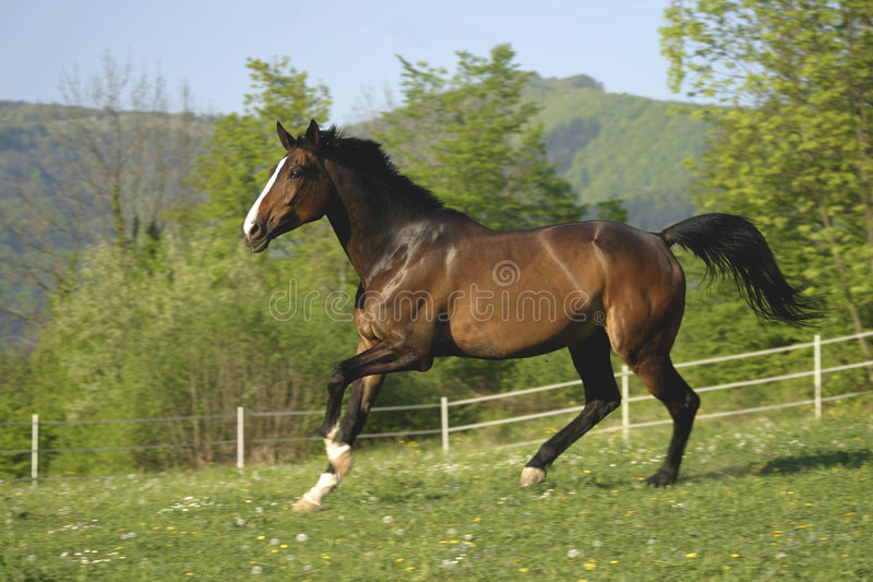 Cheval de Brown photographie stock