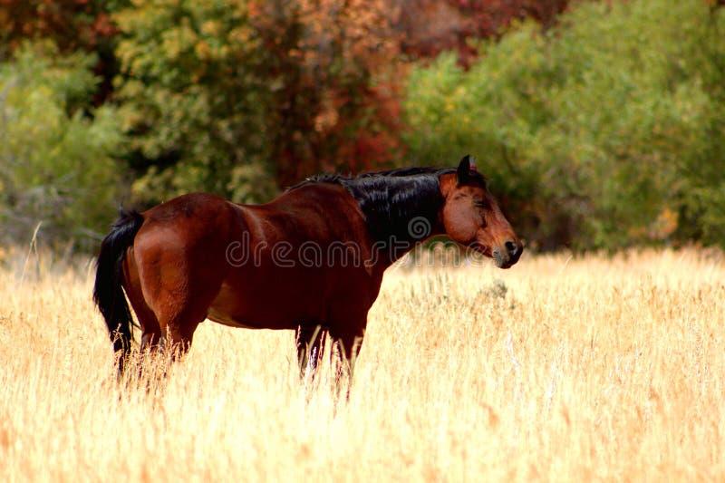 Cheval de Brown dans le pré de montagne photos stock