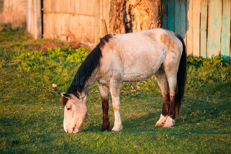 Cheval de Brown de ferme frôlant dans le pré avec l'herbe verte dans le jour d'été photographie stock libre de droits