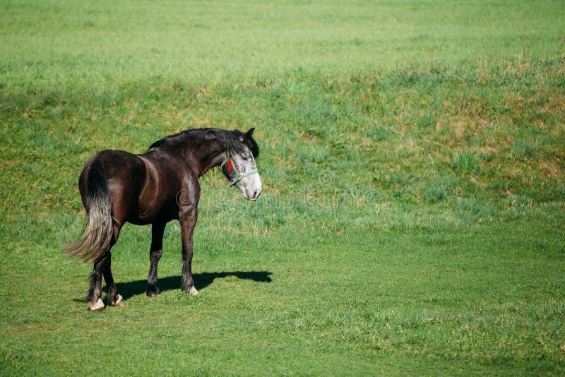 Cheval de Brown frôlant dans le pré avec l'herbe verte en été D ensoleillé photos libres de droits