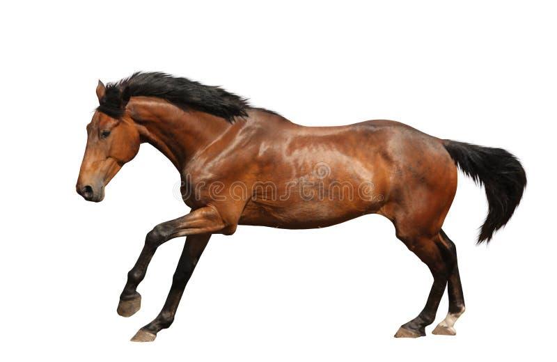 Cheval de Brown galopant rapidement d'isolement sur le blanc photo libre de droits