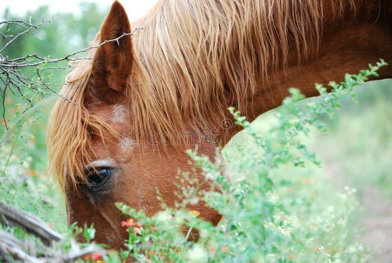 Cheval de Brown mangeant dans le domaine photo libre de droits