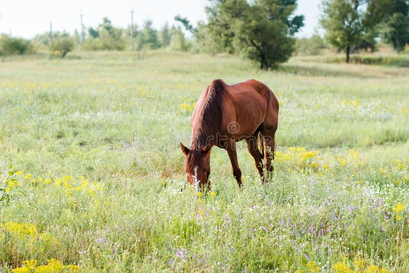 Cheval de Brown mangeant l'herbe sur la zone images libres de droits