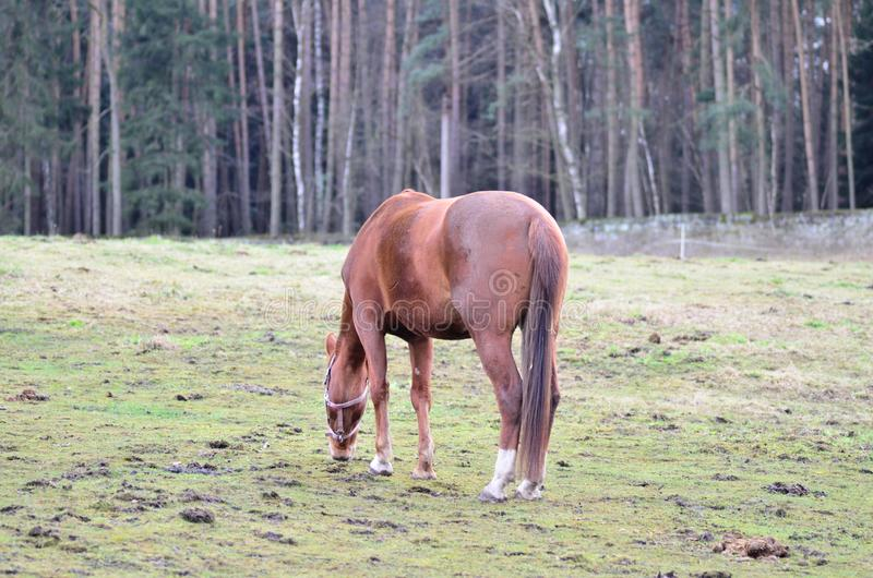 Cheval de Brown mangeant l'herbe sur le champ en hiver photos stock