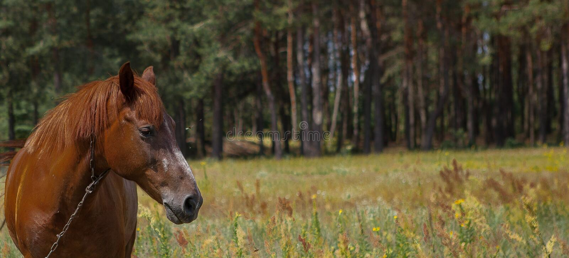 Cheval de Brown, portrait, tête, fin, été dans les forêts image libre de droits