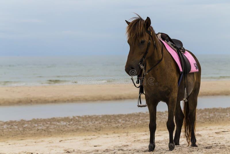 Cheval de Brown sur la plage images libres de droits