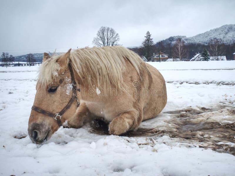 Cheval de ferme s'étendant dans la neige dans le jour d'hiver photos stock