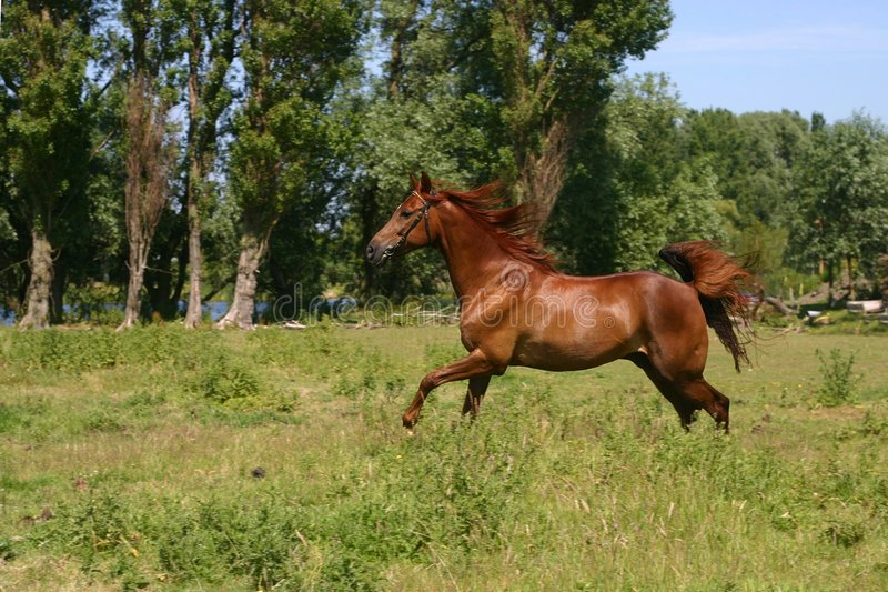Cheval de Galoping photographie stock
