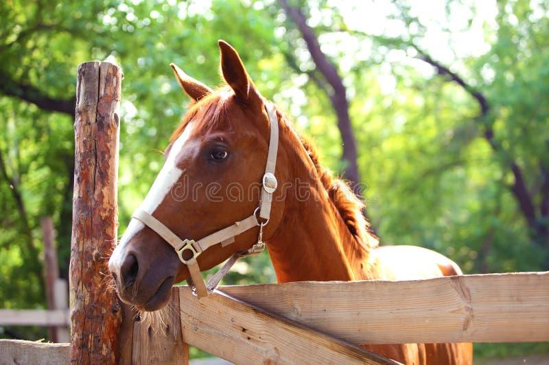 Cheval de gingembre à la ferme outdoors images stock