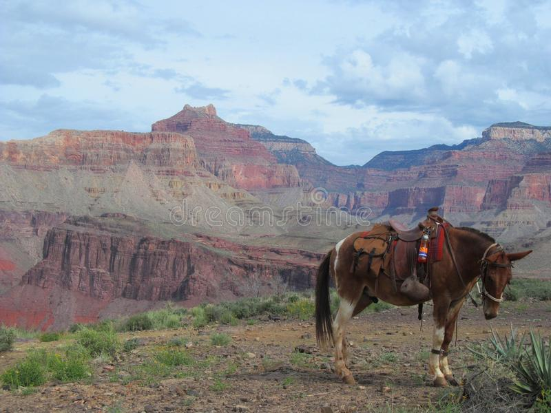 Cheval de Grand Canyon photos stock