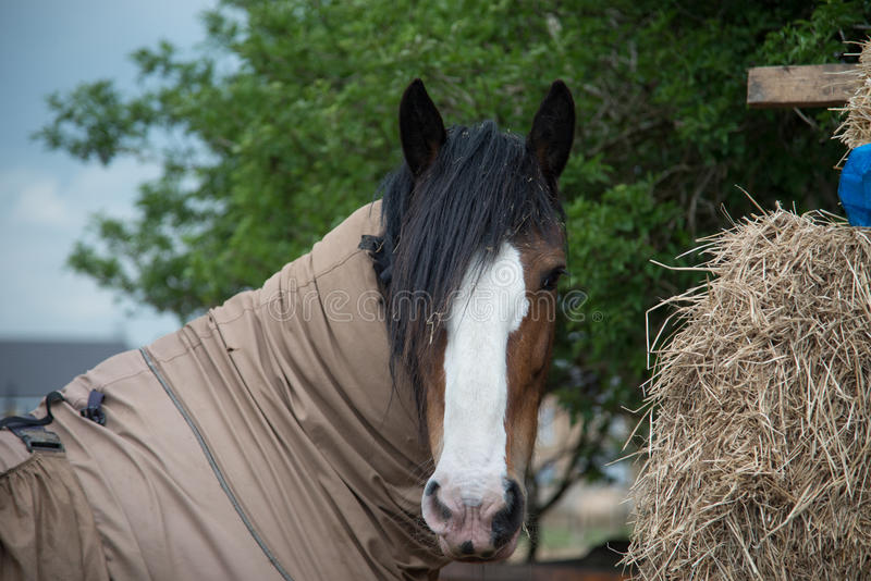 Cheval de grange photo stock