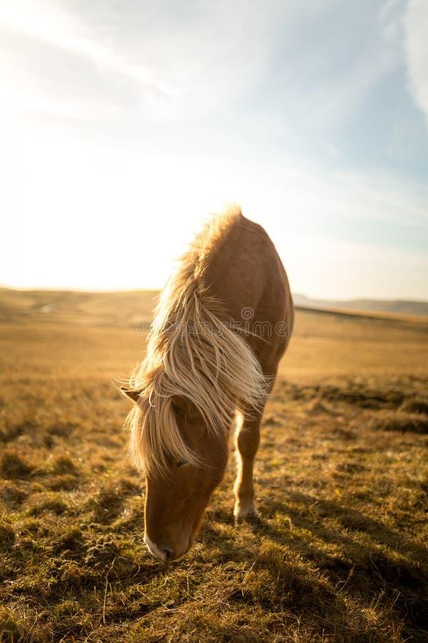 Cheval de l'Islande pendant le coucher du soleil à la côte islandaise du sud - poney de l'Islande photographie stock