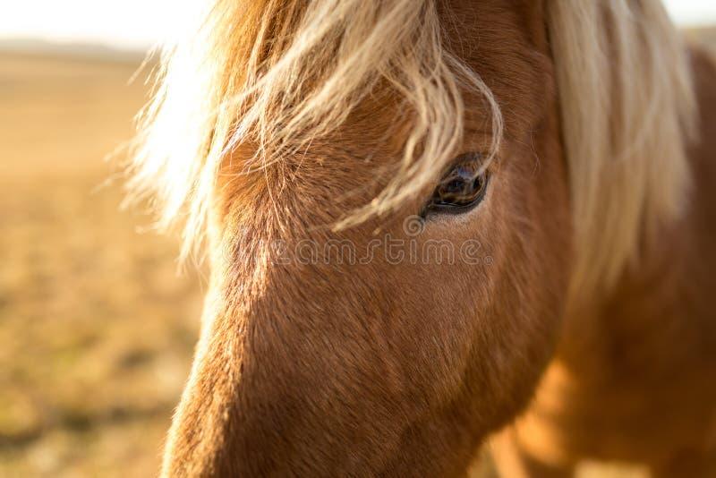 Cheval de l'Islande pendant le coucher du soleil à la côte islandaise du sud - poney de l'Islande image libre de droits