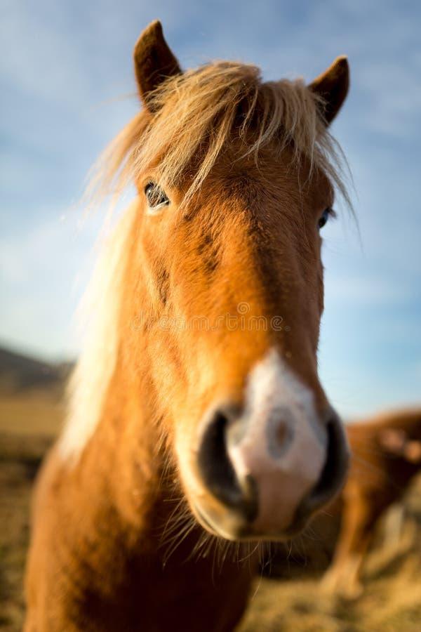 Cheval de l'Islande pendant le coucher du soleil à la côte islandaise du sud - poney de l'Islande images stock