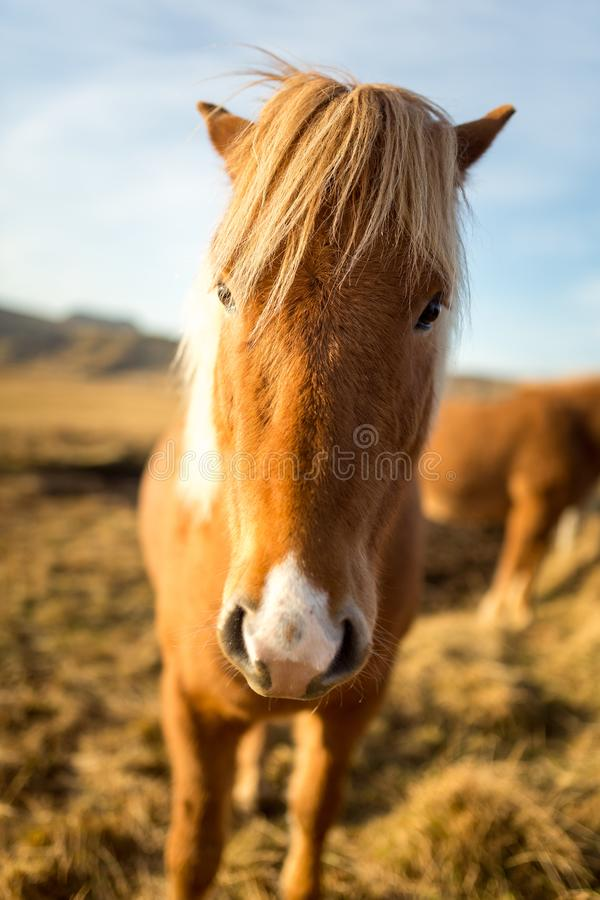 Cheval de l'Islande pendant le coucher du soleil à la côte islandaise du sud - poney de l'Islande photos libres de droits