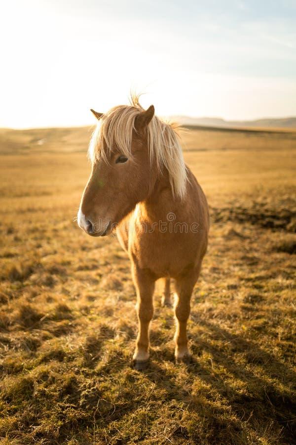 Cheval de l'Islande pendant le coucher du soleil à la côte islandaise du sud - poney de l'Islande images libres de droits