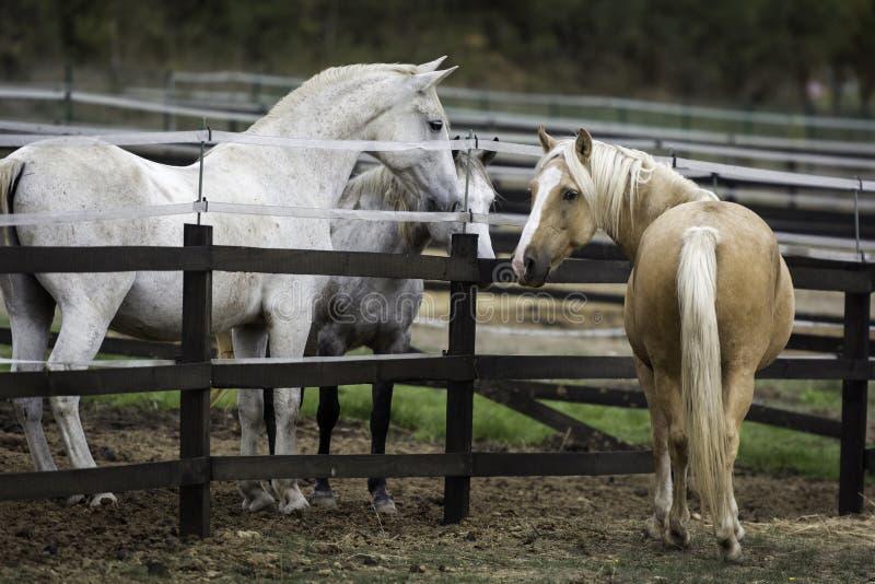 Cheval de palomino causant avec ses voisins blancs et gris image libre de droits