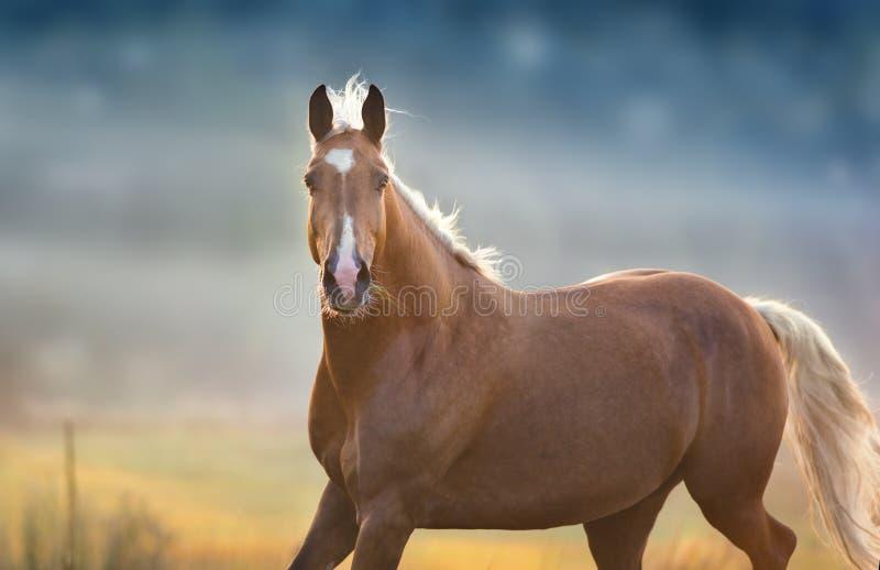Cheval de palomino dans le mouvement photo stock