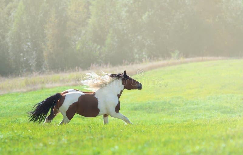 Cheval de peinture galopant sur la prairie verte d'été images libres de droits
