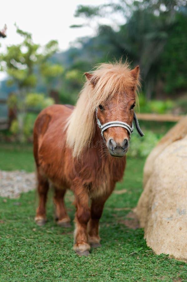 Cheval de poney de beauté image libre de droits
