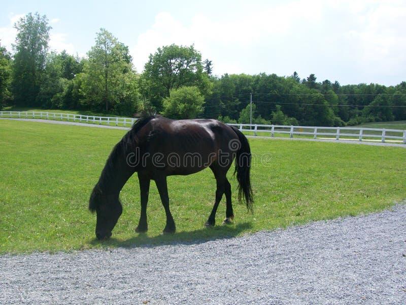 Cheval de pur sang du Vermont photo stock