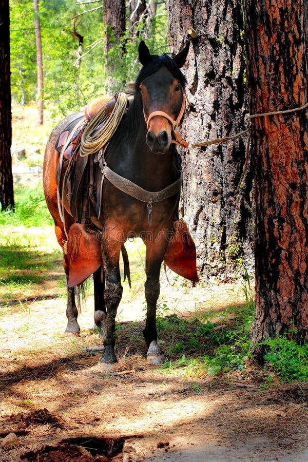 Cheval de selle attaché à l'arbre photos stock