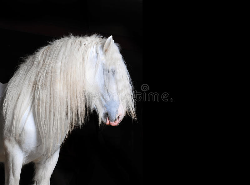 Cheval de Shire blanc avec le fond noir photo stock