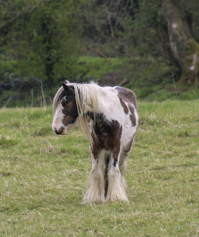 Cheval de Shire images libres de droits