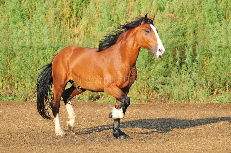 cheval de trait russe