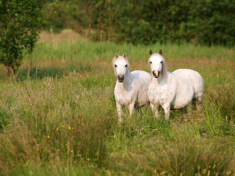 Cheval deux photo libre de droits