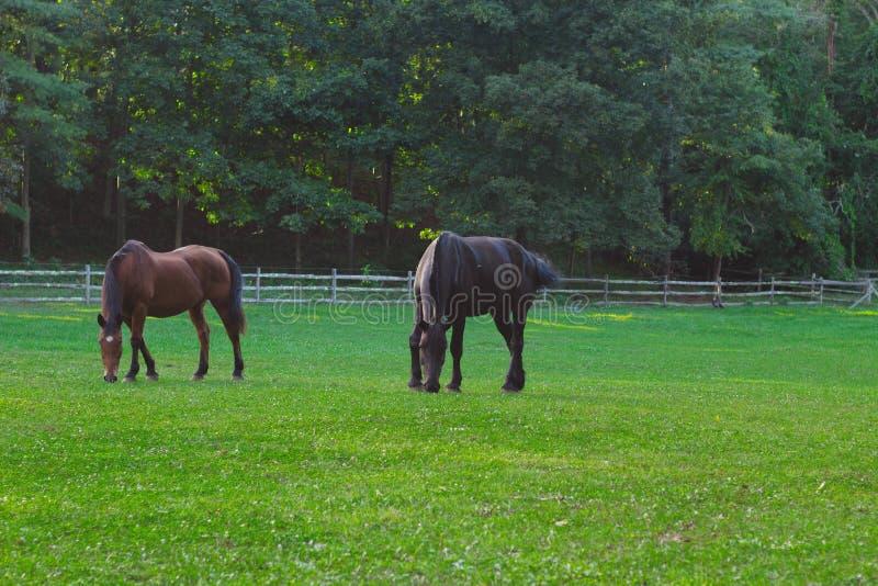 Cheval deux mangeant l'herbe avec des arbres forestiers à l'arrière-plan image libre de droits