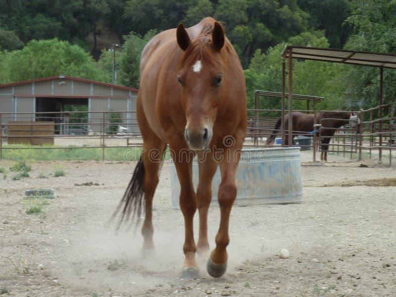 Cheval donnant un coup de pied de la poussière images stock